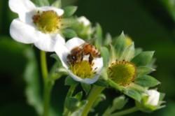 ハチによるいちごの授粉
