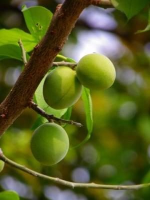 梅の実イメージ