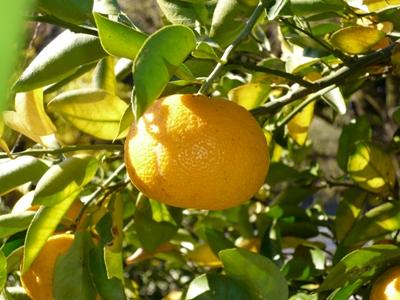 ゆこう(柚香)の果実イメージ