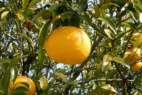 柚子の木イメージ